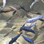 サケ科の代表的な渓流魚にはどんな魚がいるの?